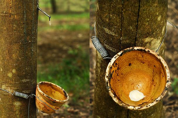 Latex milk is directly gained from the rubber tree